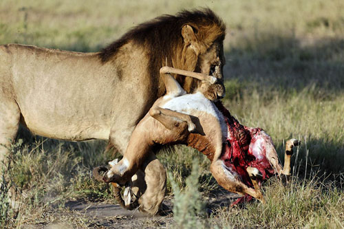 [Obrazek: lion-carrying-impala-500.jpg]