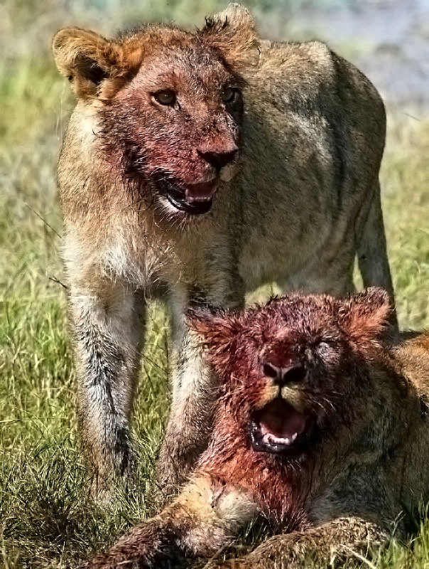 ������� ����� ����� ����� ����� lion cubs bloody.jpg
