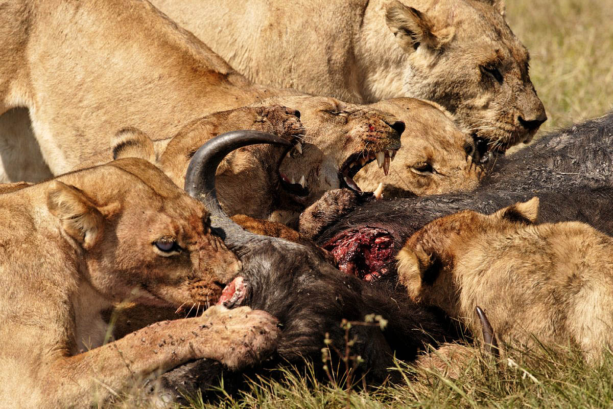 pride of lions eating a buffalo