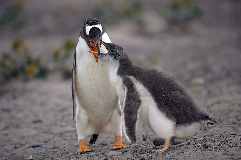essay on penguins The african penguin (also known as jackass penguin) due to their unusual braying sound they produce, is found in southern africa especially the coastal area.